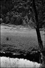entre ciel et forêt (Rachelnazou) Tags: caffenol blackwhite minolta film ilford analog argentique