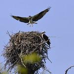 Nesting Osprey thumbnail