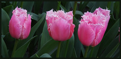 013716 Keukenhof Lisse The Netherlands C (mensinkr) Tags: flowers bloemen tukips tulpen park keukenhof lisse thenetherlands nederland plant garen tuin voorjaar macro makro closeup