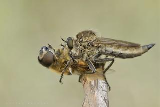 Asilidae dégustant le Syrphidae qu'il vient de mettre à mort (Esparros, Baronnies).
