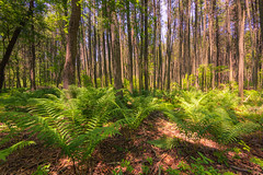 The Forest and the Trees (gregmolyneux) Tags: 14mm bakersacres ferns forests pinelands trees littleeggharbor newjersey unitedstates usa