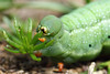 Om nom! (Pog's pix) Tags: hummingbirdhawkmothcaterpillars hummingbirdhawkmoth caterpillar green pink tiny