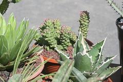 CB Succulentes - Agaves et Monadenium