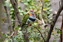 Superb Fruit Dove (Ptilinopus superbus) (Seventh Heaven Photography) Tags: superb fruit dove pigeon bird aves ptilinopus superbus ptilinopussuperbus purplecrowned purple crowned chester zoo cheshire nikond3200 tree branches