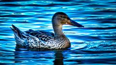 _1100279_a-1 (ron_kuest) Tags: ronkuest baskettsloughnationalwildliferefuge ducks