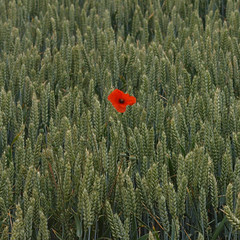 2018_07_0273 (petermit2) Tags: poppies poppy wheat field northcavewetlands northcave brough eastyorkshire eastridingofyorkshire yorkshire yorkshirewildlifetrust ywt wildlifetrust wildlifetrusts