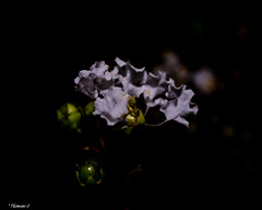 White & Green Berries (that_damn_duck) Tags: nikon flower berries petals blossom blooming nighttime nature