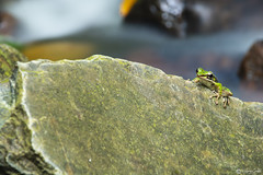 Green frog on the rock (N.Janklab) Tags: frog green tree nature background animal amphibian wildlife macro isolated red cute frogs tropical natural little exotic wild closeup eye toad small fauna rana copyspace rain space water european funny white jump forest sitting leaves curious