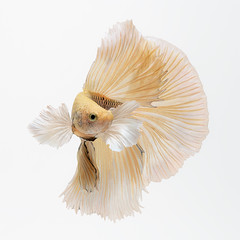 Yellow line (Jirawatfoto) Tags: animal aquarium art background beautiful beauty betta black dumbo elegant exotic fighting fineart fish isolated motion nature pet siamese space white