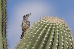 Cactus Wren Singing AZ_E1U0953 (www.sabrewingtours.com) Tags: cactus wren singing sky saguaro se az arizona bird snt sabrewing nature tours bz brian zwiebel photo photography tour aves august