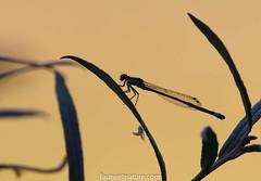 Moment du coucher pour Demoiselle (fauneetnature) Tags: demoiselle libellule dragonfly sunset coucherdesoleil insecte insect proxy proxyphotographie proxyphotography proxyphoto macro