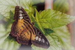 Provincial Papillon (Vanessa wuz Here) Tags: 90mm macro butterfly leaves garden devoniangarden universityofalbertabotanicalgarden devon summer wings texttures everyimagetellsastory copyrightvanessabartosek allthecolours black canada fauna