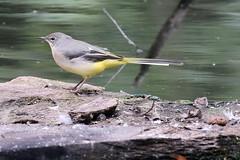 Grey Wagtail (f) (Roy Lowry) Tags: greywagtail motacillacinerea bushypark