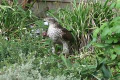 Supper time (roger_forster) Tags: sparrowhawk accipiternisus garden alverstoke gosport hampshire border hiwwt