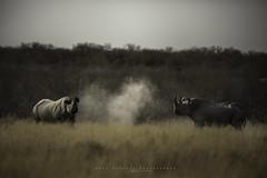 Black rhinos. Etosha, Namibia. (Raúl Barrero fotografía) Tags: rhino rinoceronte rhinoceros animal wilf africa nature black etosha namibia
