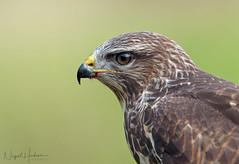 Common Buzzard (Nigel Hodson) Tags: canon 1dxmkii 600mmf4ii 2x birds birdphotography bird buzzard portrait wildlife wildlifephotography nature naturephotography ianhowells