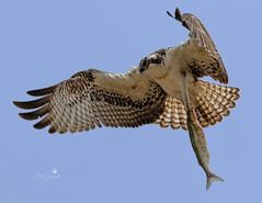 Young Osprey with a fresh catch (Beth Sargent) Tags: osprey birdofprey raptor seahawk lake nature wildlife bird sky flight explore osoflacolake