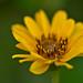 Sunflower - Topinambur