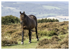 Quantock Pony in Explore 10th September 2018 (Trevor Watts Photography) Tags: somerset gb uk england southwestengland quantockhills nikon d750 september 2018 summer © trevorwatts nature natural