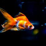 Fantail (goldfish) of Sumida Aquarium in Tokyo Sky Tree Town : リュウキン(すみだ水族館) thumbnail