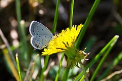 Eastern Tailed Blue (ramseybuckeye) Tags: eastern tailed blue butterfly kendrick woods