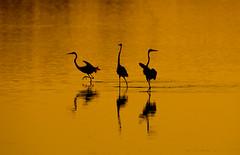 Great Egrets (nikunj.m.patel) Tags: greategret nature wild wildlife birds outdoor sunrise naturephotography bird migration summer