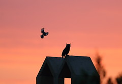 The mocking bird and the great horned owl (charlescpan) Tags: