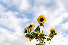 Yellow (Nantwichborn) Tags: yellow sunflowers flowers sky clouds green nikon d90
