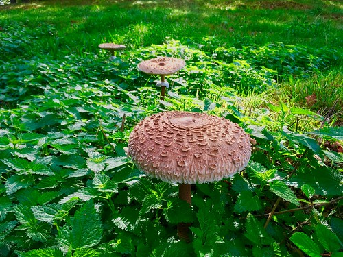 Parasol mushrooms in the forest near Breitenau, Bavaria, Germany