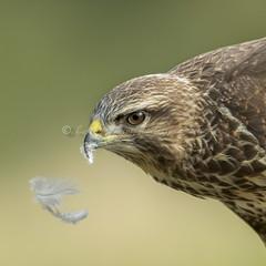 Common Buzzard (pixellesley) Tags: buzzard buteobuteo bird birdwatching raptor feeding hunting portrait wild free lesleygooding wildlife