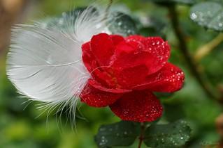 rote Rose (4)