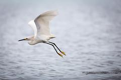 Snowy Egret (chayawita) Tags: pajaro aves paracas peru oceano canon canonistas garceta costa
