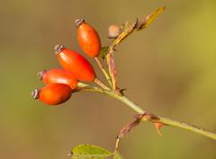 Hagebutten (KaAuenwasser83) Tags: hagebutten rose rosengewächs spätsommer rot samen wild natur wald