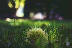 Castanea sativa (Veitinger) Tags: kastanie chestnut wiese meadow gras bokeh pentacon veitinger sony natur nature frucht fruit grün green park esskastanie
