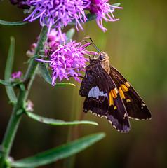 Star Tickler (Portraying Life, LLC) Tags: dbg6 hd14tc k1mkii michigan pentax ricoh unitedstates butterfly closecrop handheld nativelighting skipper da3004 meadow dryprairie