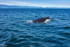 They are getting closer - Humpback whale / Buckelwal (since 1960) Tags: kanada canada britishcolumbia campbellriver vancouver island nationalpark meer ocean pazifik pacific fujifilmx100s natur nature tiere animals wale whales
