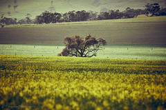 Alone (Paterdimakis) Tags: tree australia country green landscape fuji flower nature