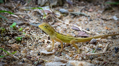 Changeable Lizard (Calotes versicolor) (Andrelo2014) Tags: calotesversicolor changeablelizard easterngardenlizard orientalgardenlizard kohphangan sigma105mm sigma105mmf28exmakro macro sonyalpha77ii a77ii thailand southeastasia