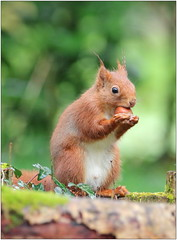 Écureuil roux - Red squirrel (Sciurus vulgaris) (Man Photo Nature) Tags: ecureuil écureuilroux squirrel ardilla ardillaroja sciurus sciurusvulgaris mammal mammifère mamifero rodent rondentia photonature canon eos70d sigma sigma150600