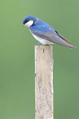 Tree Swallow (Tachycineta bicolor), Colony Farm, Coquitlam, British Columbia (Daniel J. Field) Tags: treeswallow tachycinetabicolor