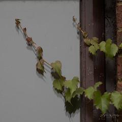 365-2018-254 - Boston Ivy (adriandwalmsley) Tags: flinthouse creeper