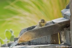 2016.05.25 - 5926 - Mésange bleue Bois Bas © (chmeyer51) Tags: oiseau mésangebleue paridae paruscaeruleus