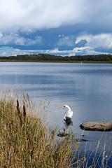 The swan is washing (jannaheli) Tags: suomi finland helsinki arabia luonto nature luontovalokuvaus naturephotography nikond7200 outdoor sunnyday sunday syksy autumn arabianranta pilvet clouds taivas sky bluesky joutsen swan maisema landscape