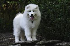 Loki Is Growing Up So Fast (raisinsawdust - (aka: tennphoto)) Tags: samoyed puppy growing dog goodboy tennesseephotographer tennphoto jraysanduski