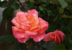 DSC_1695 (PeaTJay) Tags: nikond750 langrishhousehotel hampshire manorhouse hotels gardens outdoors nature flora fauna plants trees bushes lakes grass grasses flowers rose roses rosebuds