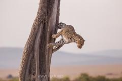 The Elusive Leopard (Features Africa Journeys) Tags: kenyasafari featuresafrica journeys tanzaniasafari safari