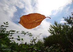 floating leaf (Tabea-Jane) Tags: nature leave dry summer natur laub trocken sommer