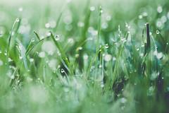 morning dew (simplyalex) Tags: morning dew green grass water drops eden light grün wet nature sunshine fade macro summer rainy tiny outdoor sunny day lights colours mood