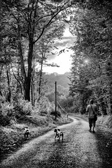 An Evening Walk (Missy Jussy) Tags: evening eveningsun sunlight sun trevorkerr razz rups dogs dogwalk lane road trees forest woodland wood leaves light shadows mono monochrome atmosphere blackwhite bw blackandwhite 70200mm ef70200mmf4lusm ef70200mm canon70200mm 5d canon5dmarkll canon5d canoneos5dmarkii canon man pets animals englishspringer springerspaniel spaniel mansbestfriend malespringerspaniel