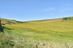 Golden Fields (PLawston) Tags: uk britain england west sussex midsussex link border path south downs national park